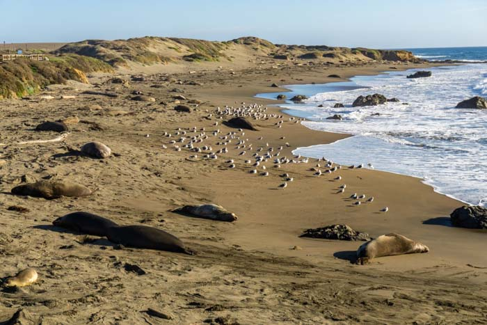 Elephant Seals relaxing on the beach!