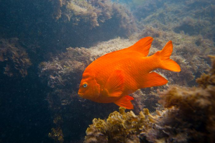 Seeing the Garibald Fish is one of the highlights of a Scuba dive on your Catalina Island day trip