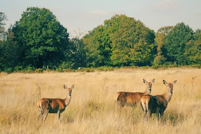 Iconic Deers of Richmond Park