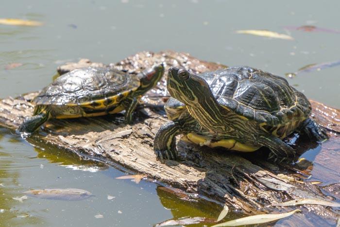 Spotting turtles in Dunavski Park
