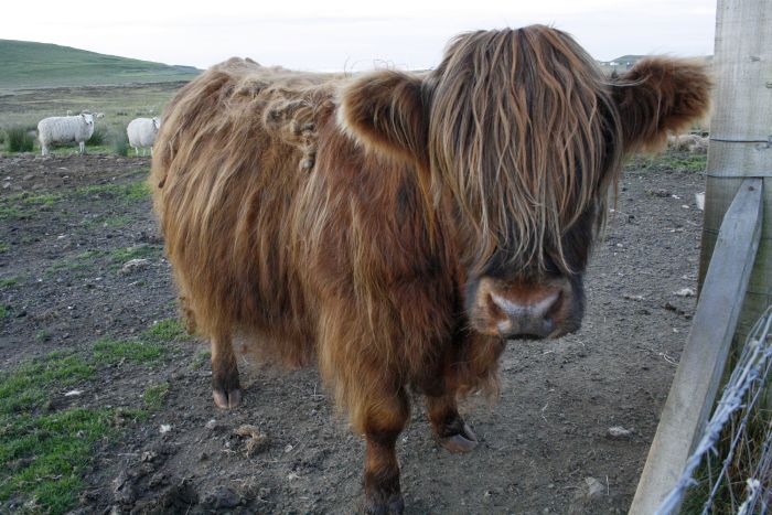 Portrait of a Highland Cow in Scotland